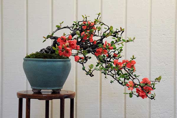 Hoa mai đỏ hoa ngày tết đẹp