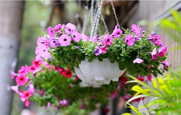 Ngẩn ngơ trước vẻ đẹp của hoa dạ yến thảo