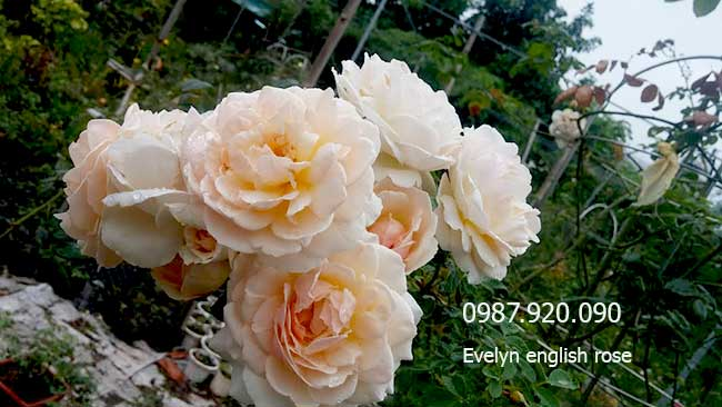 hoa-hong-leo-evelyn-english-rose-9-a