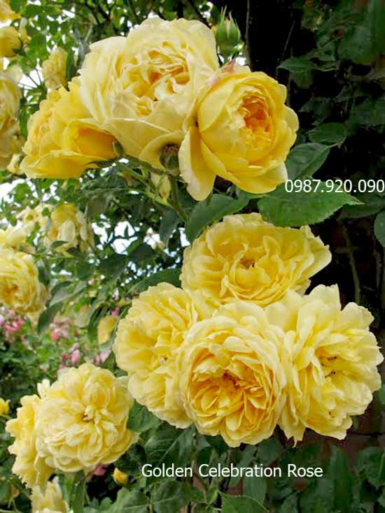 hoa-hong-leo-golden-celebration-rose-10a