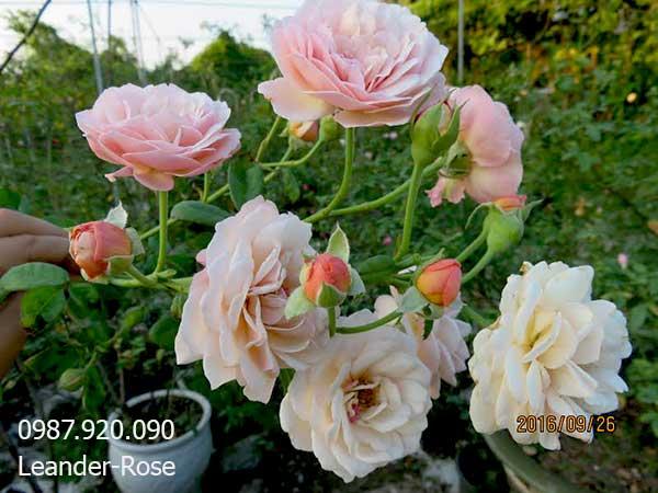 hoa-hong-leo-leander-rose-7a