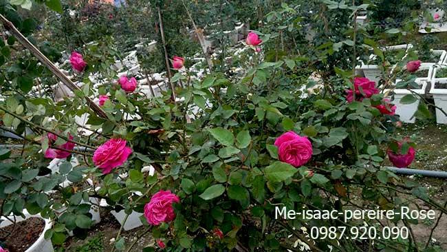hoa-hong-leo-me-isaac-pereire-rose-14-2-a