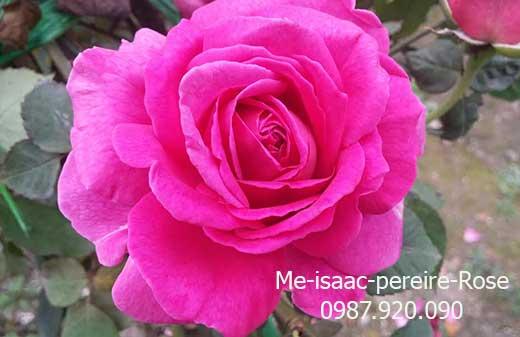 hoa-hong-leo-me-isaac-pereire-rose-14-3a