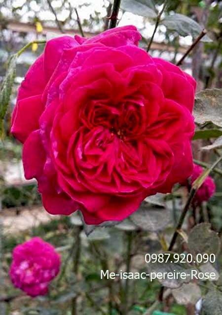 hoa-hong-leo-me-isaac-pereire-rose-14a