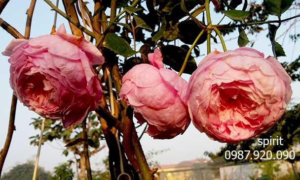 Hoa hồng leo hoa leo đẹp