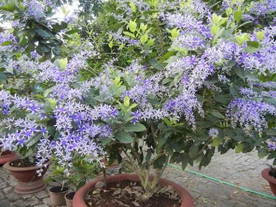hoa-mai-xanh-4a