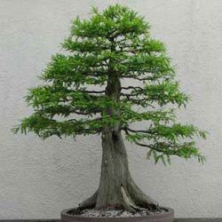 cay-bonsai-dang-truc-1a