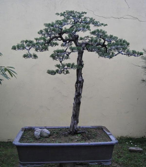 cay-bonsai-dang-truc-3a