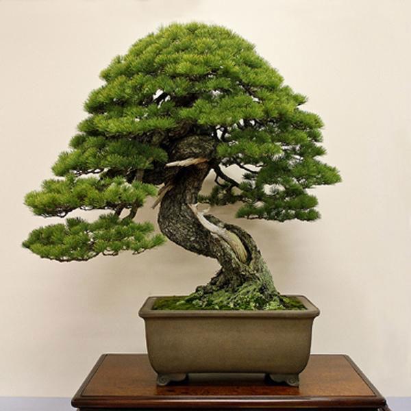 cay-bonsai-dang-truc-6a