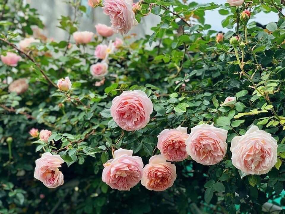 Hoa hồng leo Abraham Darby rose 3B0674FB 7F39 4B52 9D35 7283F9C8FB0C
