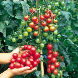 Cây cà chua bi