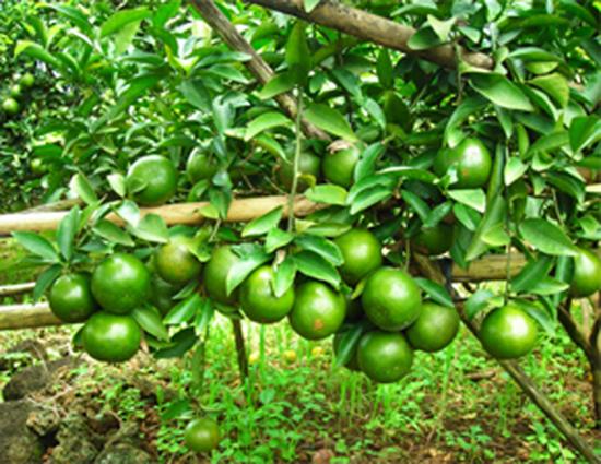 Cây cam – Cây ăn quả truyền thống của nước ta