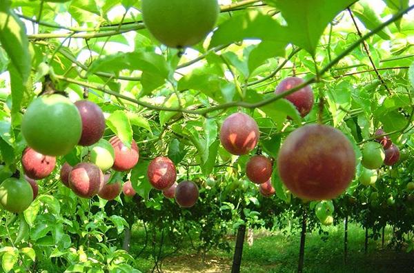 Cây chanh leo – Cây cho bóng mát, quả sử dụng nhiều dinh dưỡng