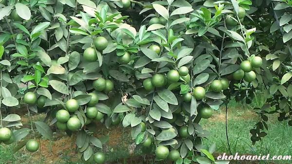 Cây chanh – Cây ăn quả trồng quanh nhà