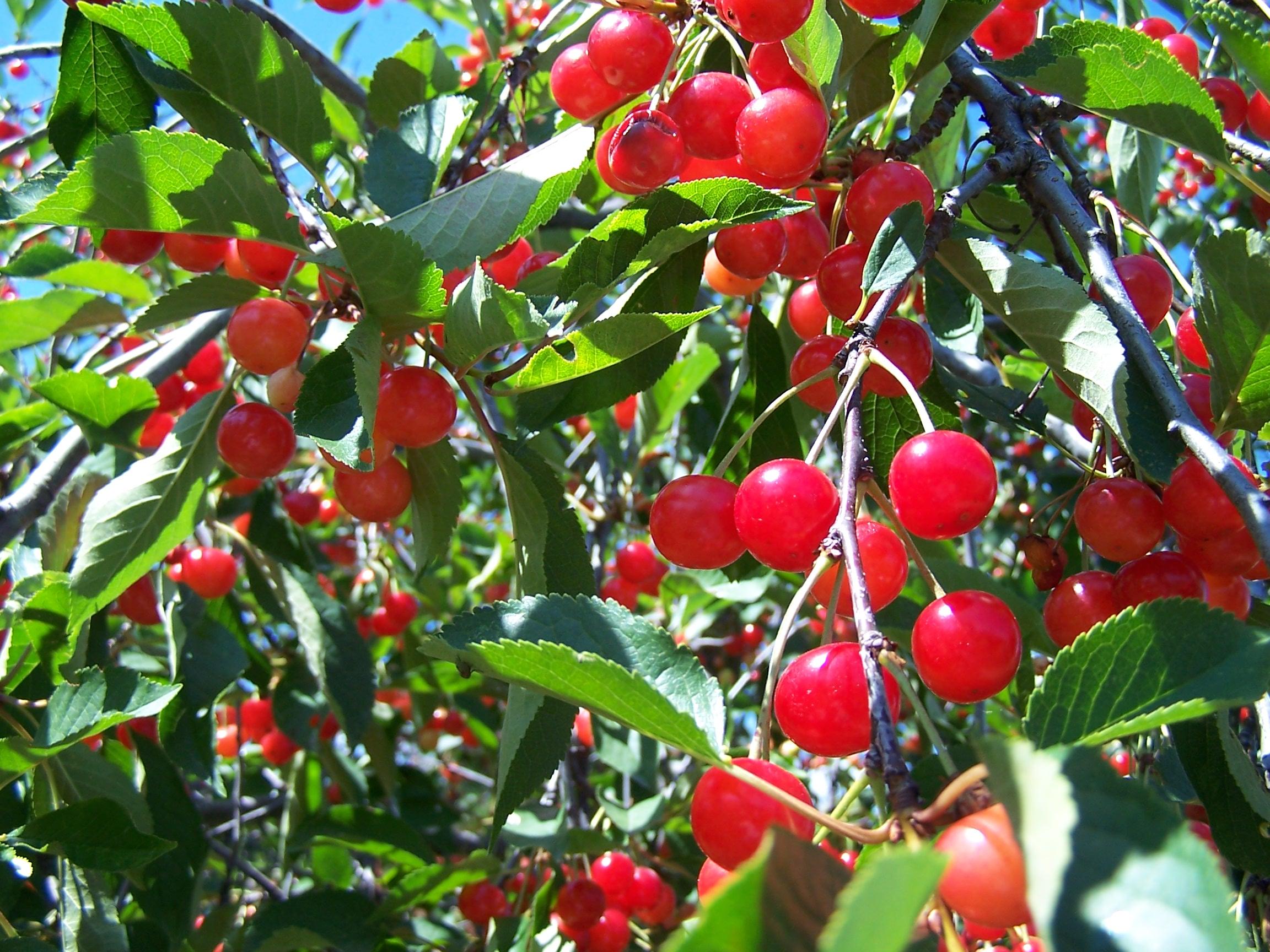 Cây cherry – Cây ăn quả độc đáo