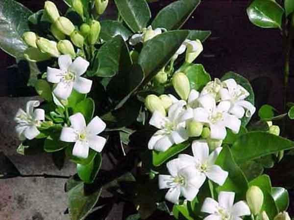 Cây hoa nguyệt quế – cách trồng và chăm sóc cây hoa nguyệt quế công trình đẹp
