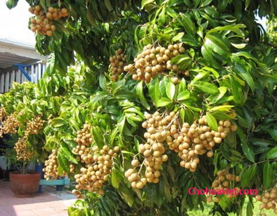 Cây nhãn cây ăn quả dễ trồng – Sai quả, quả ngọt