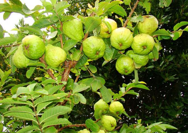 Cây ổi ta – Cây ăn quả truyền thống