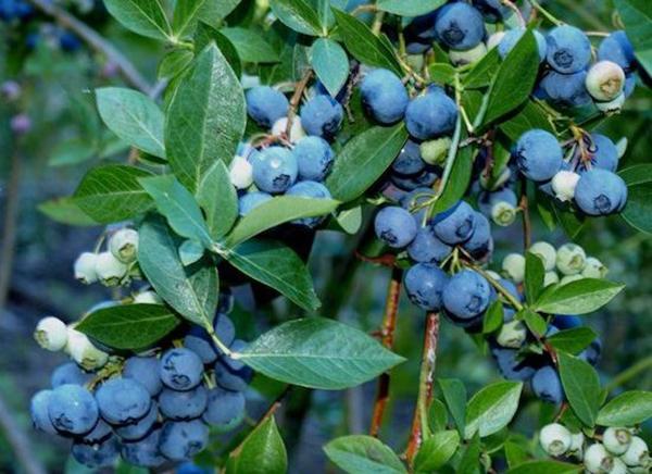Cây Việt quất cây ăn quả nhiều dinh dưỡng