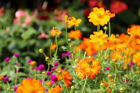 Hoa Cánh chuồn