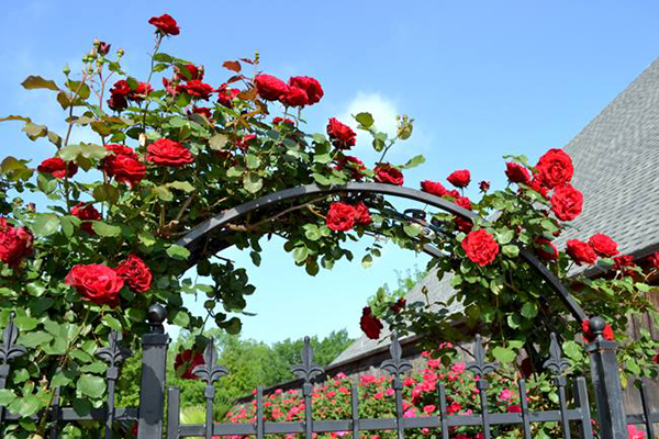 Hoa hồng cổ Hải Phòng hoa đẹp rực rỡ