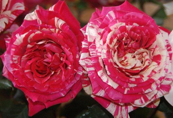hoa-hong-leo-best-impression-rose-1a