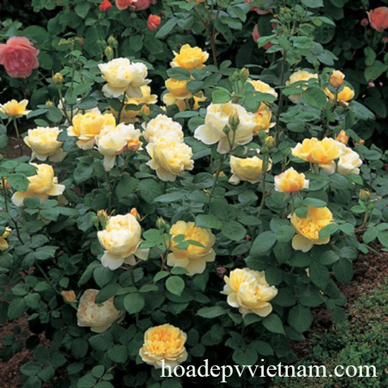 hoa-hong-leo-charles-darwin-rose-1a