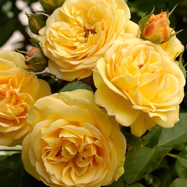 Hoa hồng Charles Darwin Rose độc đáo