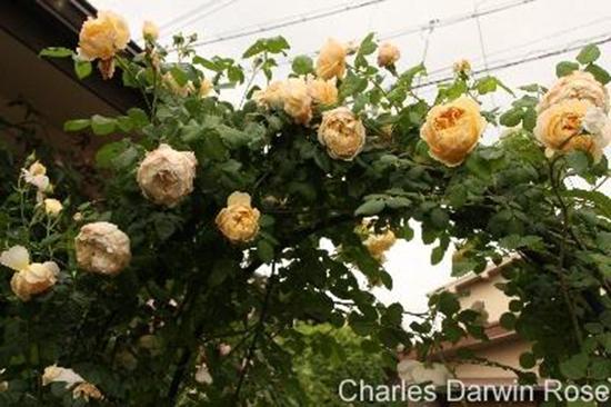 hoa-hong-leo-charles-darwin-rose-4a