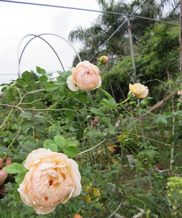 hoa-hong-leo-charles-darwin-rose-5a