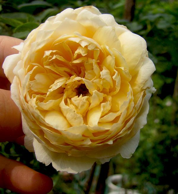 hoa-hong-leo-charles-darwin-rose-7a