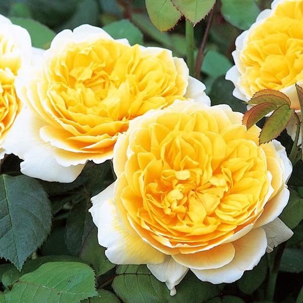 hoa-hong-leo-charlotte-rose-1a