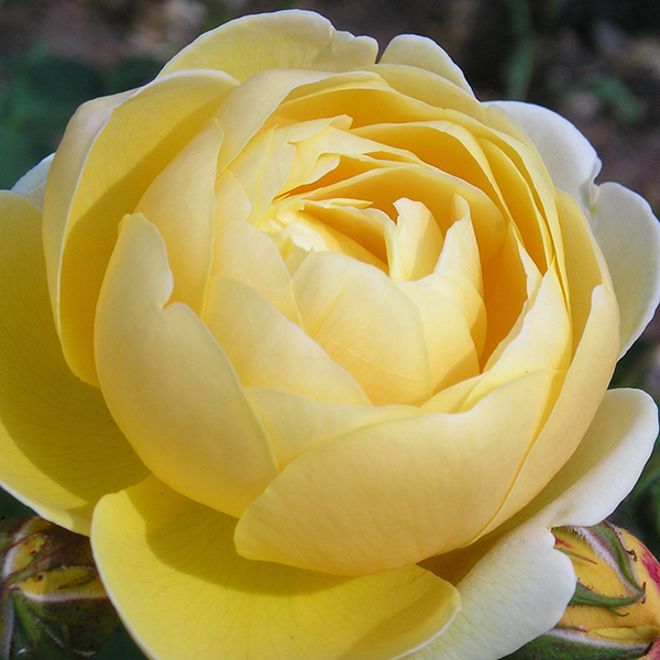Hoa hồng ngoại Charlotte rose bụi có thể đào tạo leo