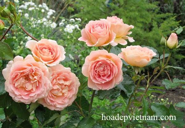 hoa-hong-leo-evelyn-english-rose-2a