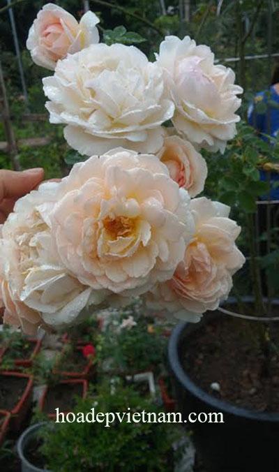 hoa-hong-leo-evelyn-english-rose-3a