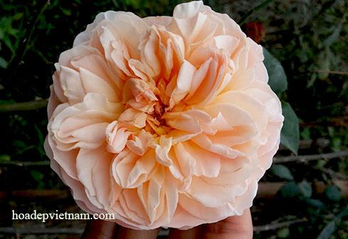 Cây Hoa hồng leo Evelyn english rose hoa độc đáo