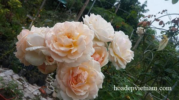 hoa-hong-leo-evelyn-english-rose-5a
