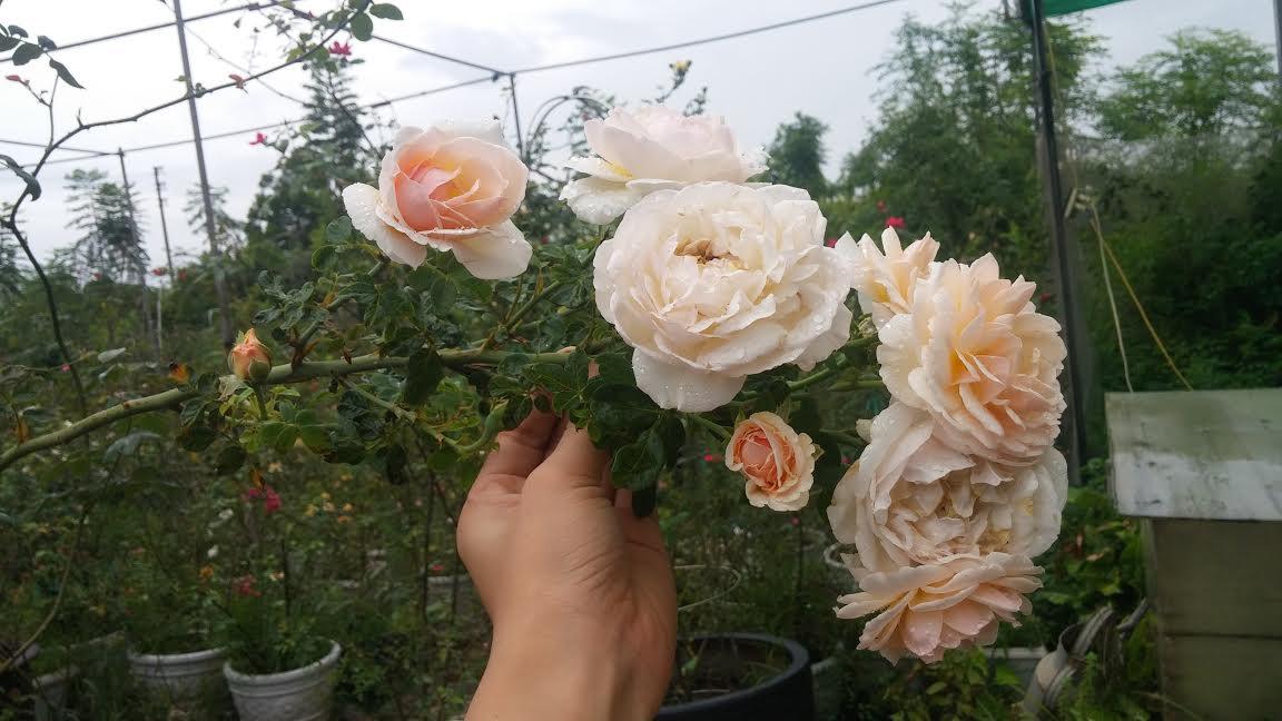 hoa-hong-leo-evelyn-english-rose-6