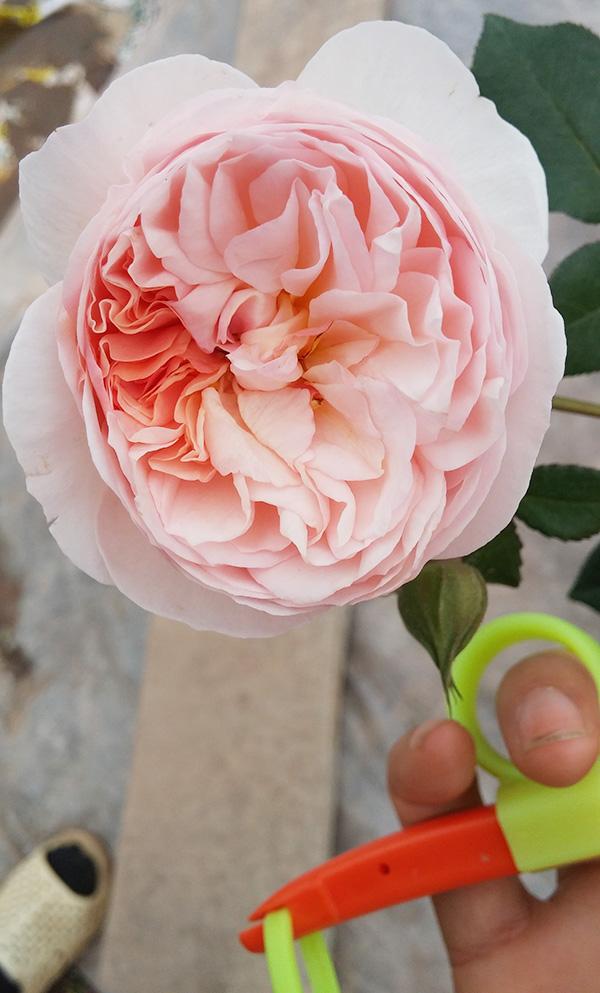hoa-hong-leo-heritage-rose-3