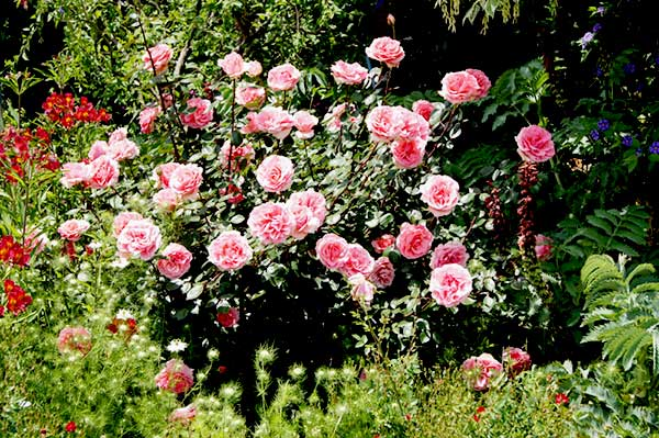hoa-hong-leo-heritage-rose-tree-rose-1