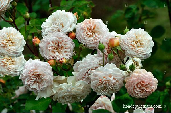 hoa-hong-leo-leander-rose-2a