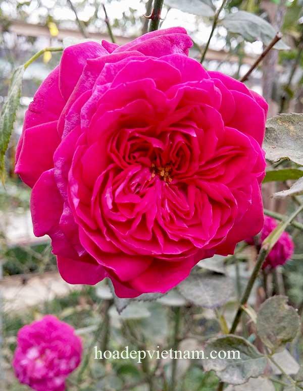 Hoa hồng leo ME isaac pereire Rose