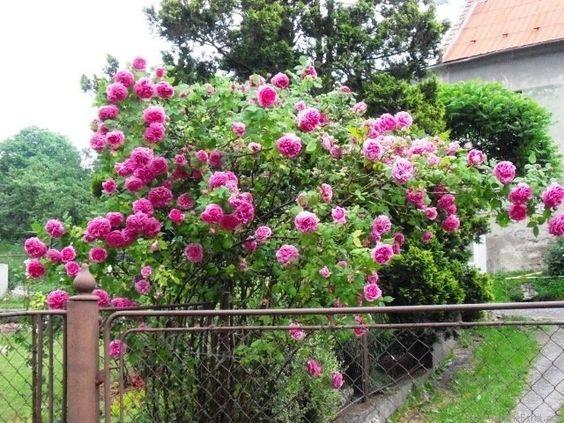 hoa-hong-leo-me-isaac-pereire-rose-2