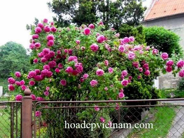 hoa-hong-leo-me-isaac-pereire-rose-2a
