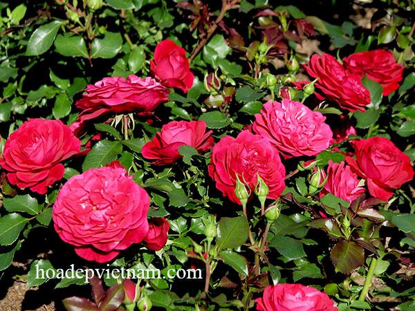 hoa-hong-leo-monalisa-rose-2a