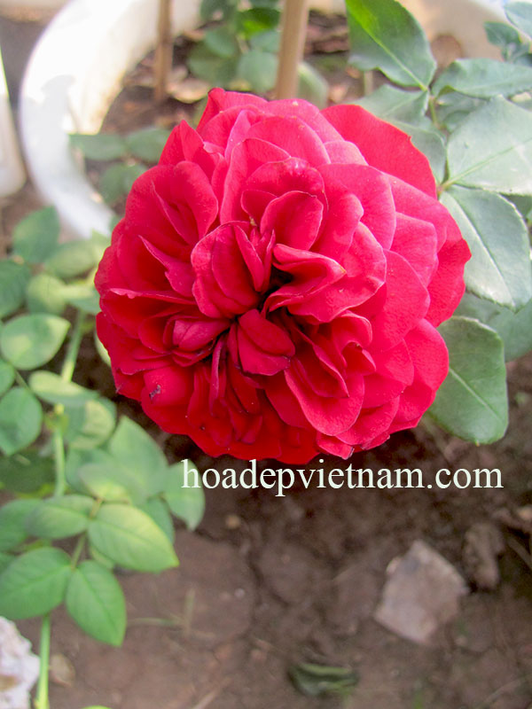 hoa-hong-leo-monalisa-rose-3