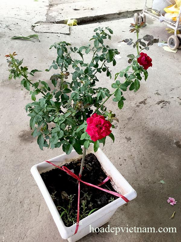 hoa-hong-leo-monalisa-rose-4