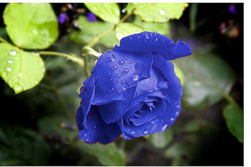hoa-hong-xanh-13