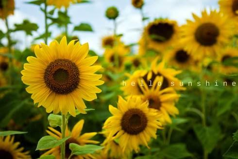 Hoa hướng dương – Hoa của ánh mặt trời đẹp thu hút ánh nhìn