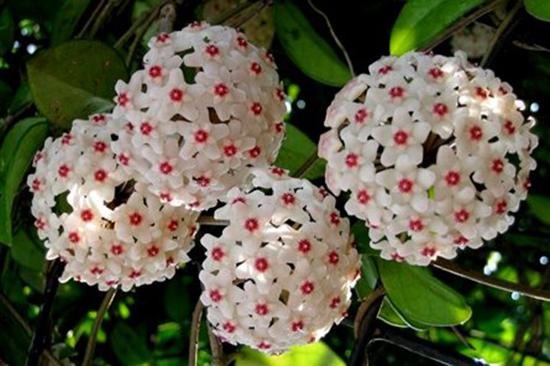 Hoa lan cẩm cù trồng Chậu treo